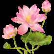 Lótusz virág színes falmatrica